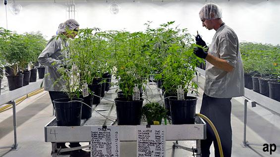 Marijuana pot stocks