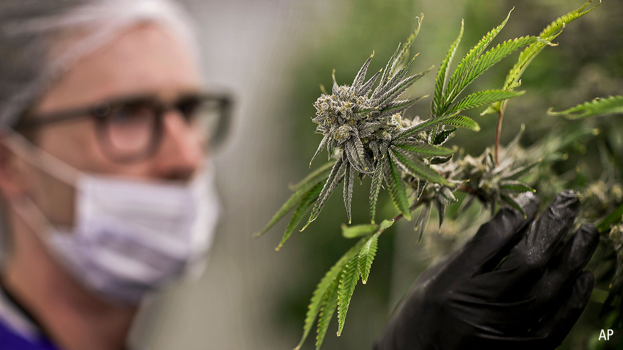 a marijuana plant at the Desert Grown Farms cultivation facility in Las Vegas