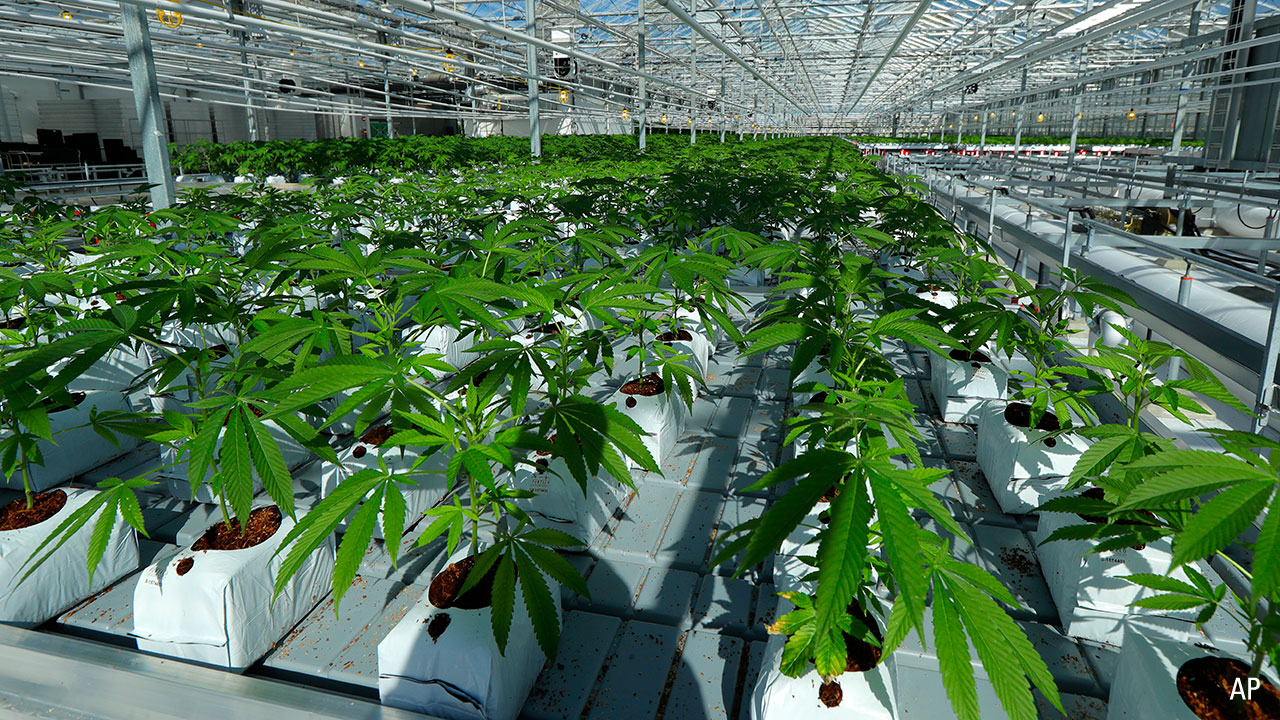 marijuana plants are shown growing in a massive tomato greenhouse being renovated to grow pot in Delta, British Columbia