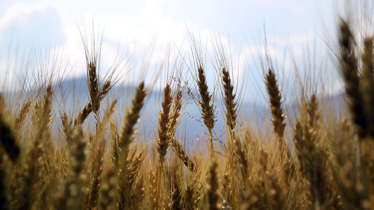 wheatfield in detail